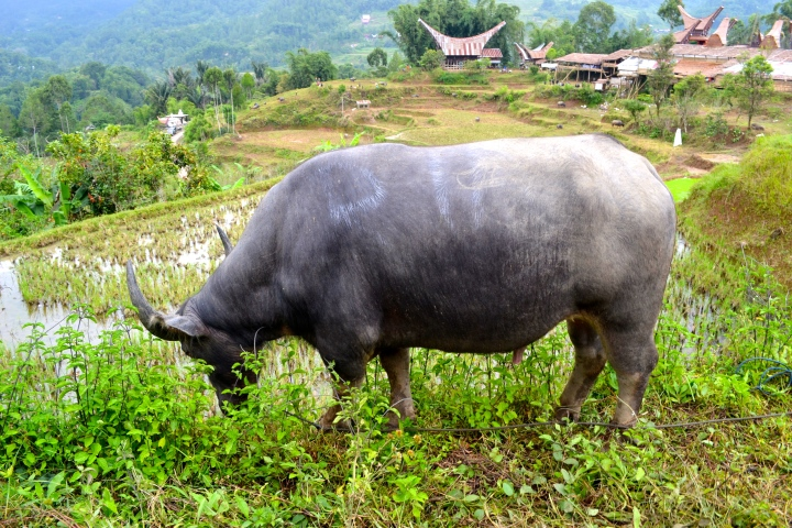 His lucky day. This buffalo got to graze on grass, avoiding the bloody massacre going on down below at the funeral ceremony.