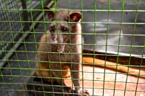 The Luwak waits in his cage for his next coffee bean treat.