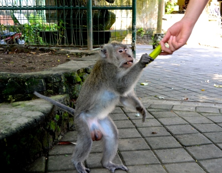 Bananas are sold at the monkey forest for tourists to give to the monkeys. BEWARE! Some monkeys are surprisingly swift and will jump on you to get a taste.