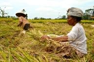 Ladies harvesting rice in the fields.