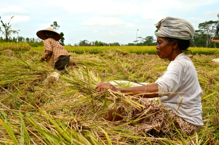 Ladies harvesting rice in the fields.