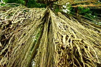 This beautiful tree has its roots cut before they touch the ground. It's believed to be bad luck if they do.