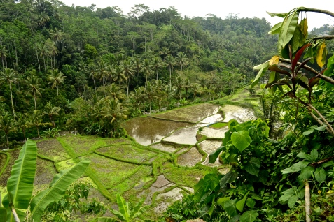 A view of rice fields above the Ayung River.