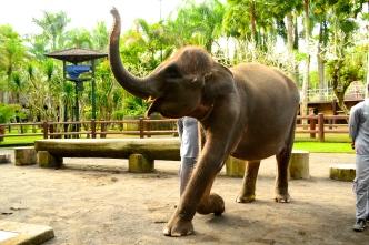 Time to shine! Elephant talent show.