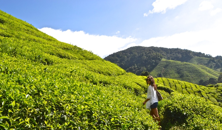 Cameron Highlands: A Green Escape